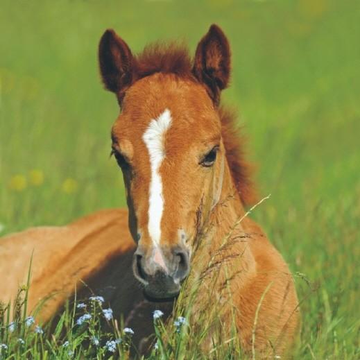 Servietten Pferd Cavallo